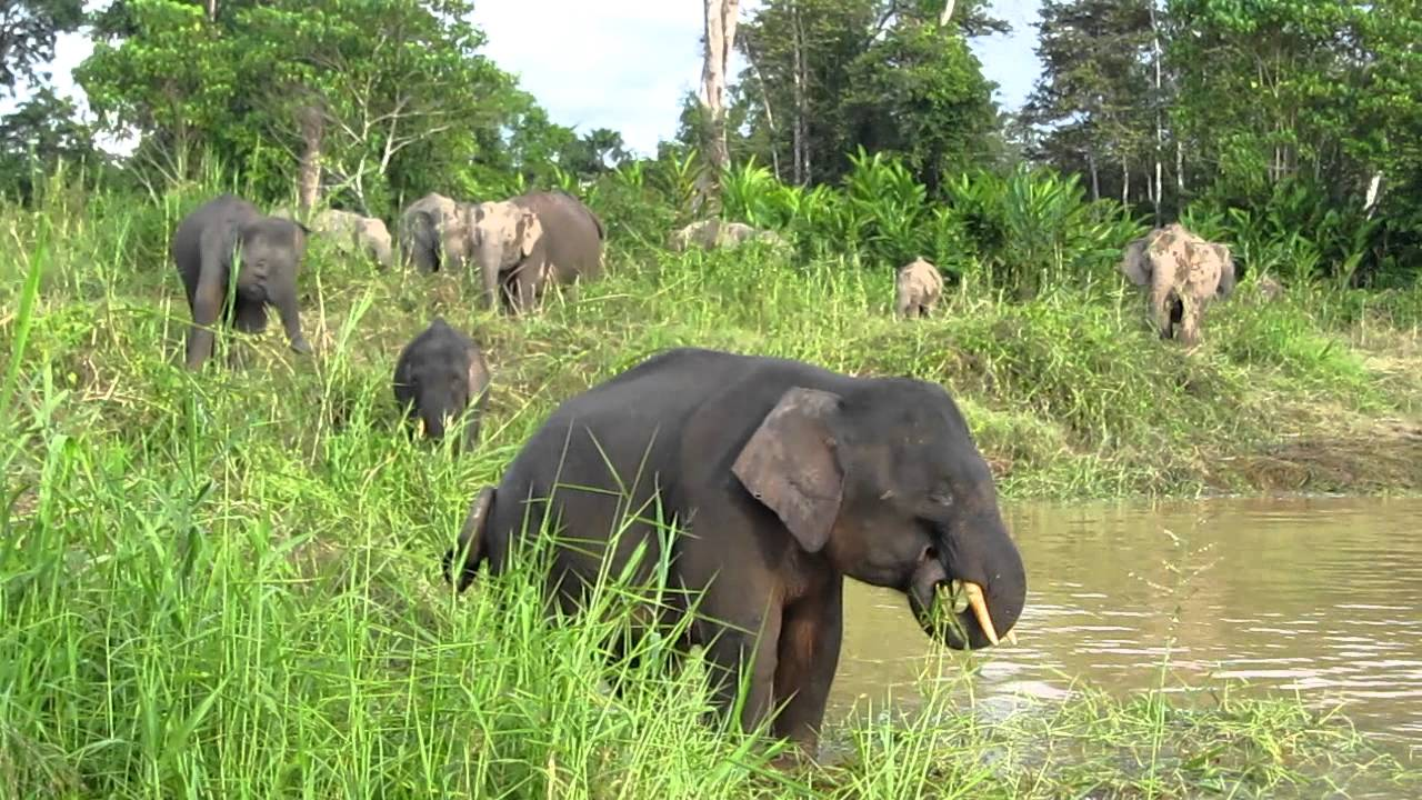 Pygmy elephants | Credit: Clean Malaysia