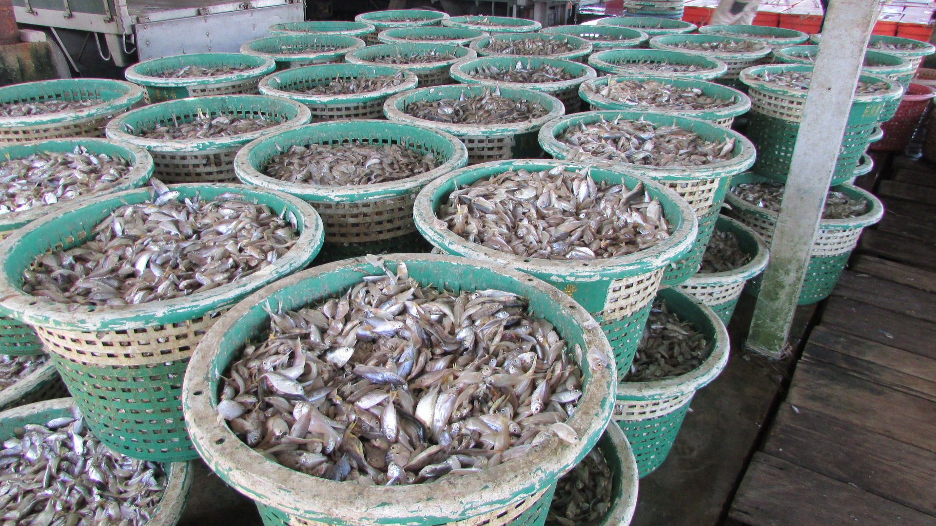 Juvenile fish and fries destroyed by trawlers | SAM