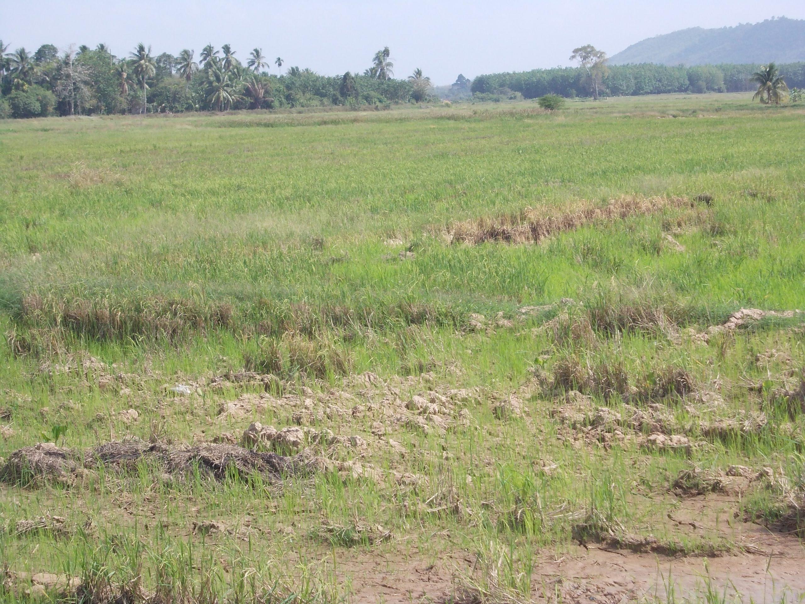 Kawasan sawah berdekatan Bukit Perangin mungkin terjejas jika kegiatan pembalakan tidak dihentikan | SAM